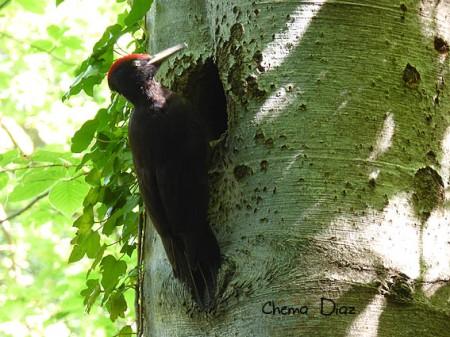 Macho de pito negro en el nido