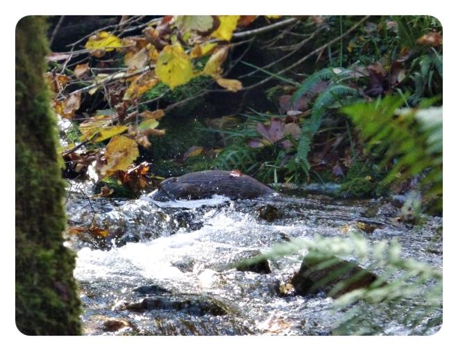 Nutria, en un río de este parque natural. Nov 2014.
