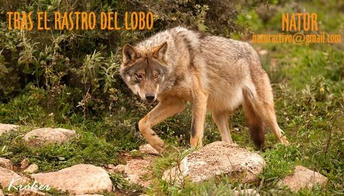 Observación lobos, NATUR