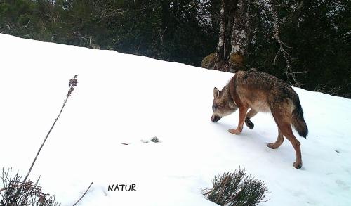 Lobo en el parque natural Fuentes del Narcea, Degaña e Ibias