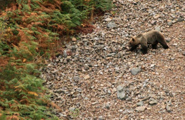 El oso, a los arándanos y el arraclán en el mes de setiembre, en los montes cercanos al albergue.
