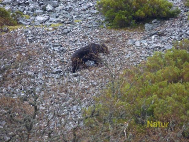 Oso en el parque natural Fuentes del Narcea, Abril 2014.